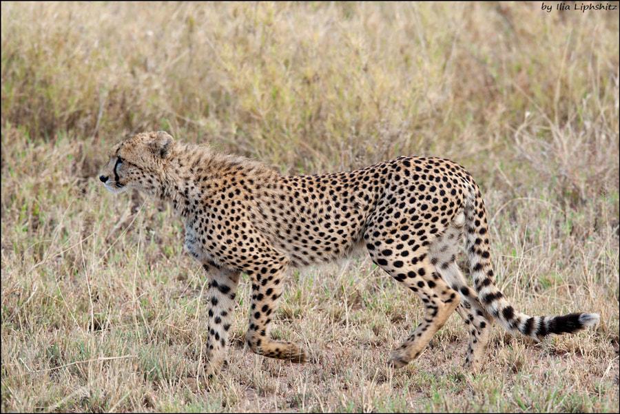 Cheetahs of Serengeti №14