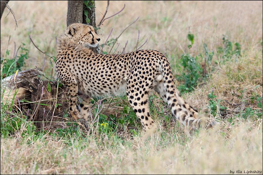 Cheetahs of Serengeti №15