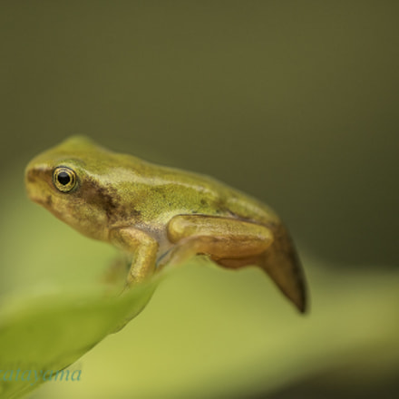 Baby frog, Sony ILCE-7S, Tamron SP AF 180mm F3.5 Di LD [IF] Macro