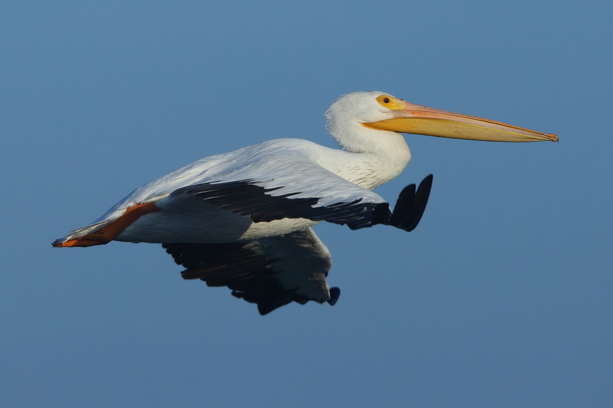 Photograph White Pelican by Chim Co on 500px