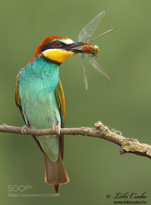 Photograph Bee-eater with Dragonfly by Csaba Loki on 500px