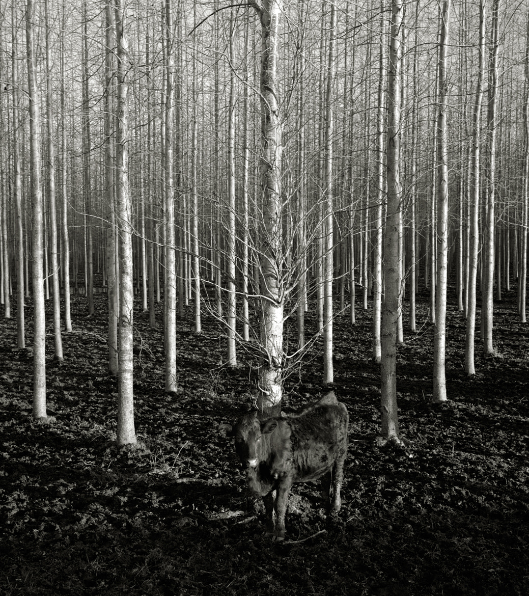 Photograph Cow with Trees, Oregon by Austin Granger on 500px