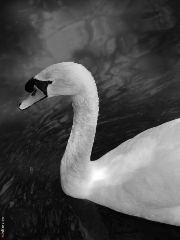 Photograph Swan on black by Miguel Gómez on 500px