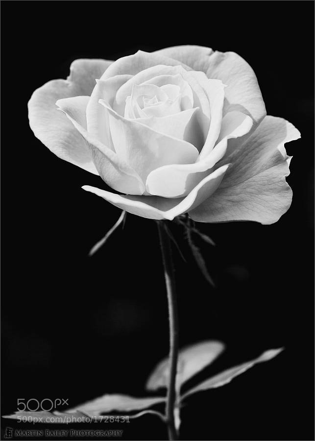 Photograph Pink Rose by Martin Bailey on 500px