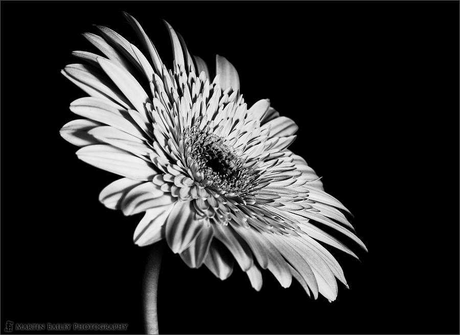 Photograph Gerbera by Martin Bailey on 500px