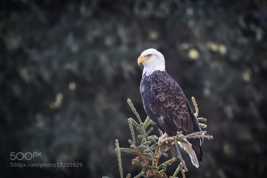 Photograph Bald Eagle  by Brenton Biggs on 500px