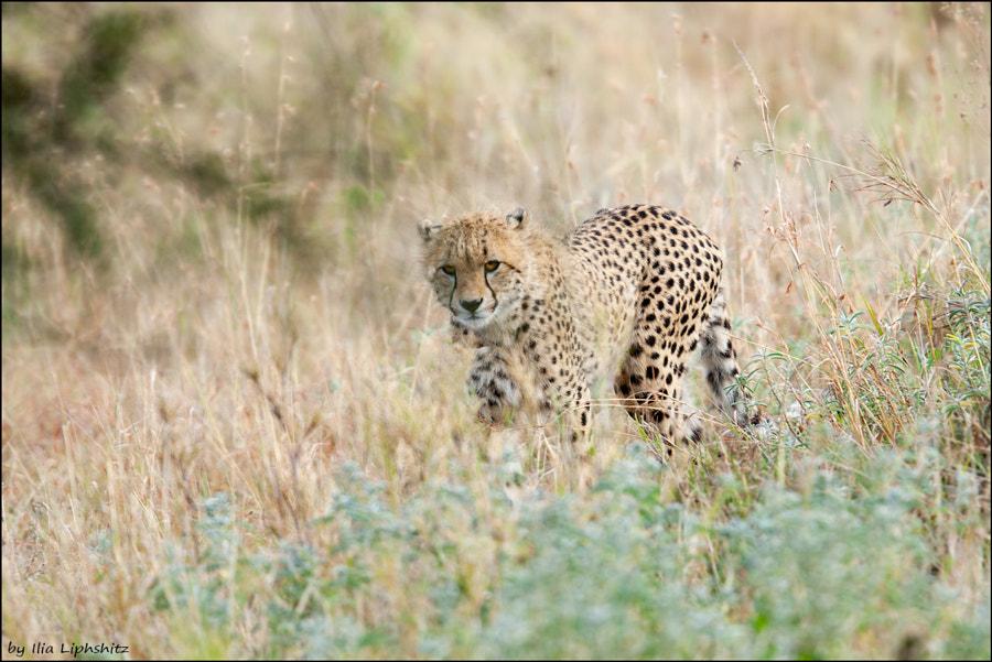 Cheetahs of Serengeti №16