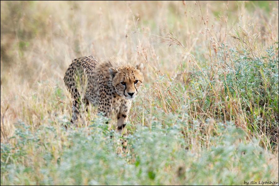 Cheetahs of Serengeti №17