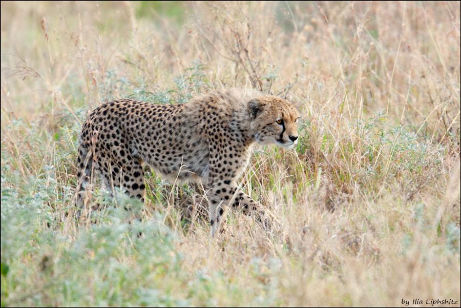 Cheetahs of Serengeti №18