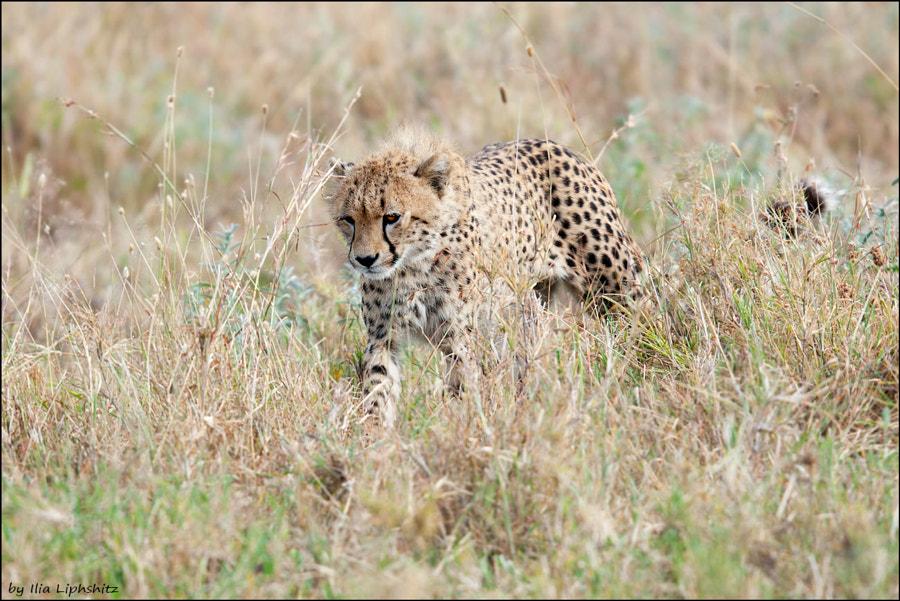 Cheetahs of Serengeti №19