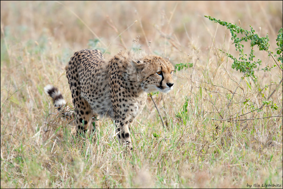 Cheetahs of Serengeti №20