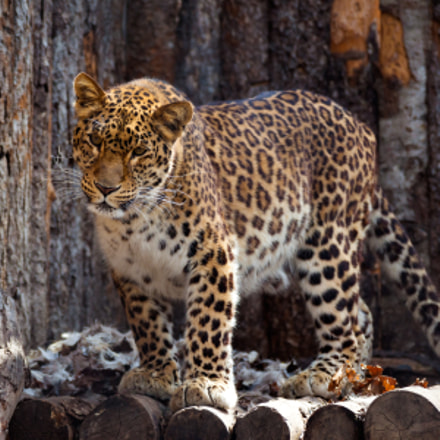 Amur leopard in a, Canon EOS 5D MARK II, Canon EF 100-300mm f/5.6L