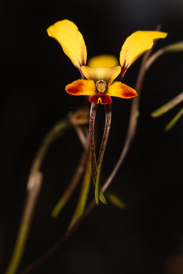Wallflower Orchid by Paul Amyes on 500px.com