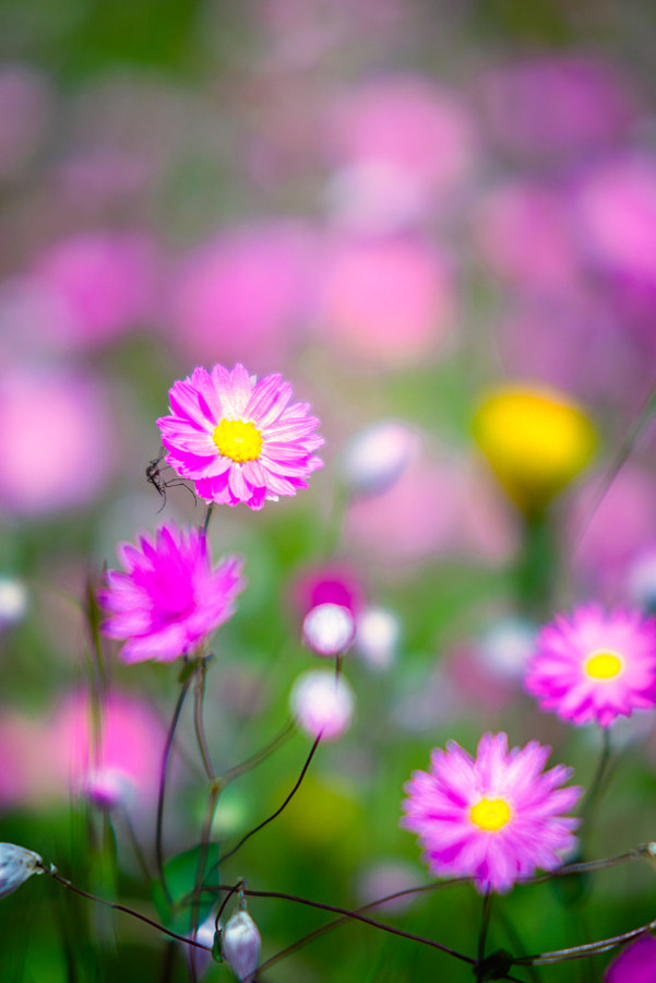 Everlastings by Paul Amyes on 500px.com