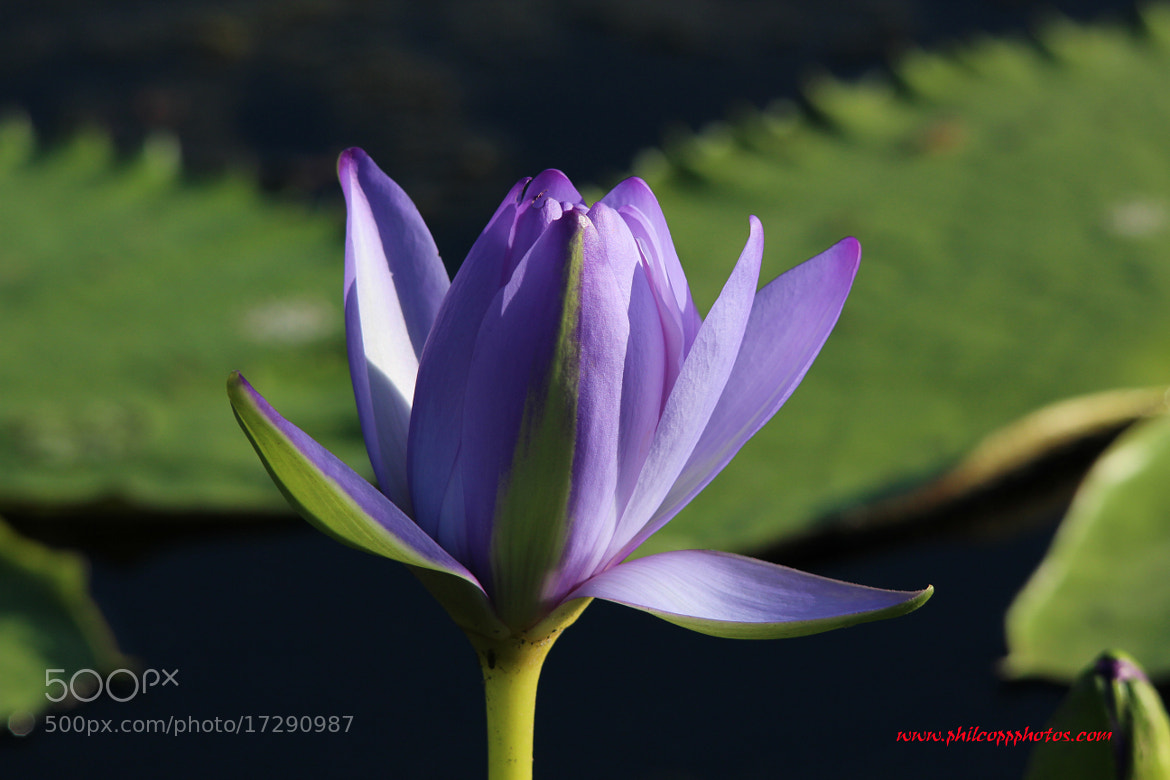 Photograph Lotus Flower by Phil Copp on 500px