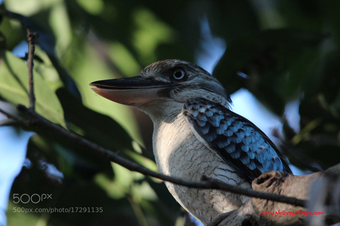 Photograph Blue Winged Kookaburra by Phil Copp on 500px