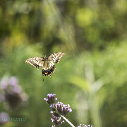 Flying of swallowtail butterfly, Sony ILCE-7S, Tamron SP AF 180mm F3.5 Di LD [IF] Macro