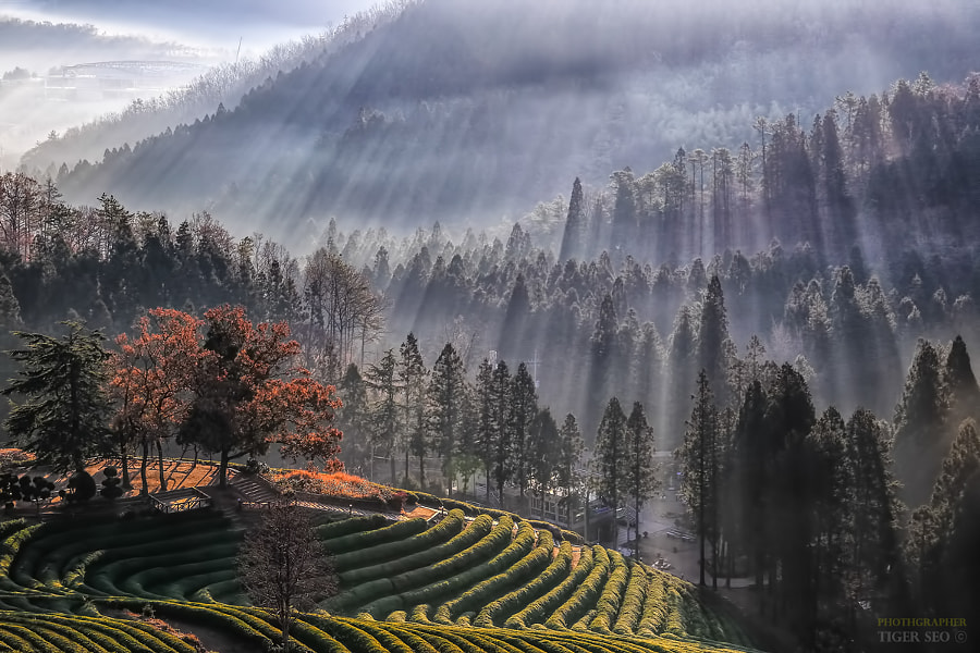 Rays on green tea farmland by Tiger Seo on 500px.com