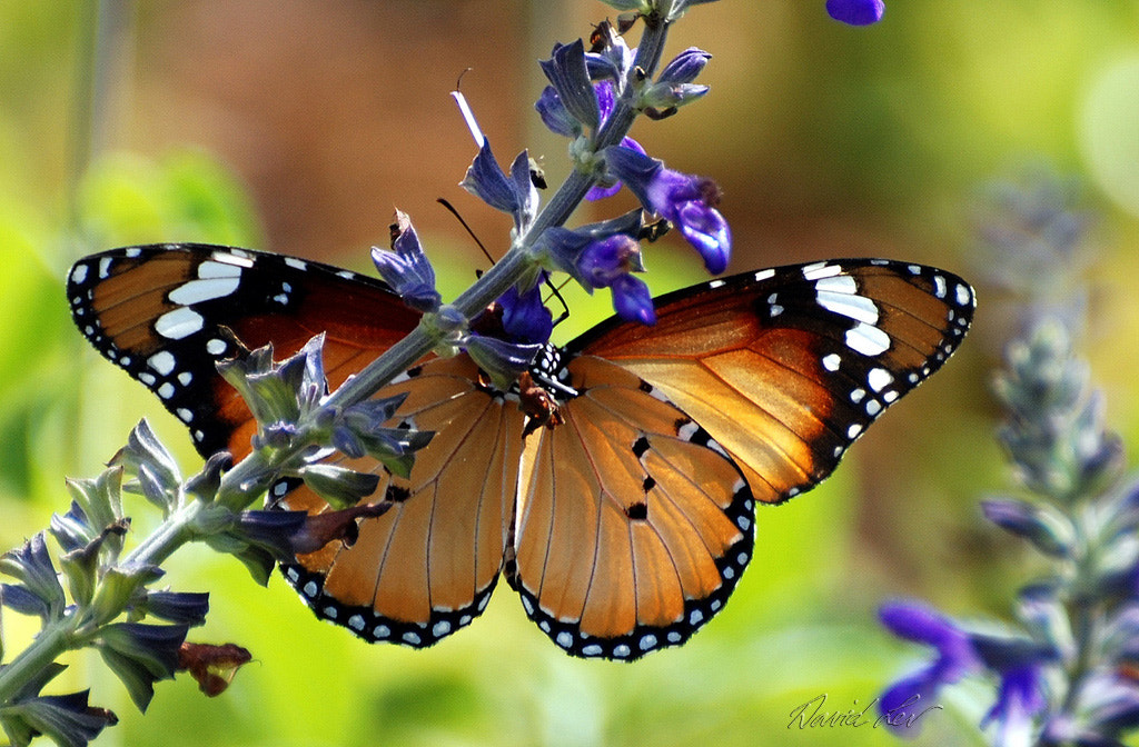Photograph Monarch on Salvia by David Lev on 500px