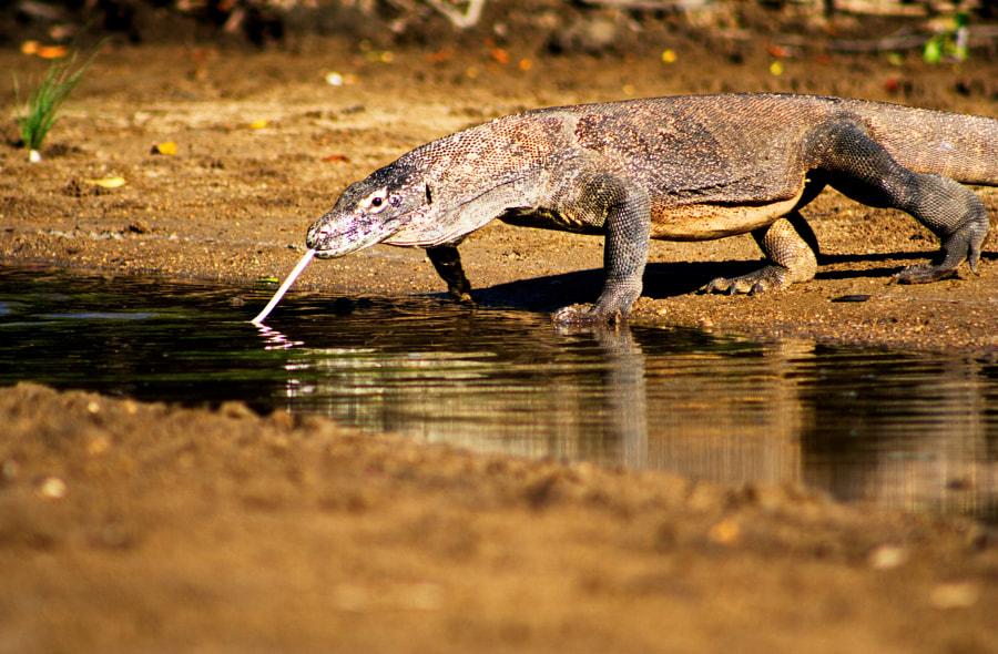 Dragon. Komodo National Park by oleksiy latunin on 500px.com