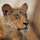 An image from an awesome sighting of two Jacaranda Pride lionesses during our third day of our wildlife safari in the Motswari Private Game Reserve, located in the Timbavati region of greater Kruger Park, Mpumalanga, South Africa.  This Jacaranda lioness was perched atop a mound, happily gazing into the distance in the morning sunlight.
