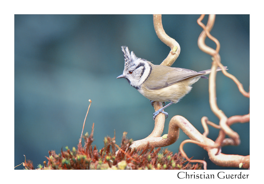 Photograph European Crested Tit by CHRISTIAN GUERDER on 500px