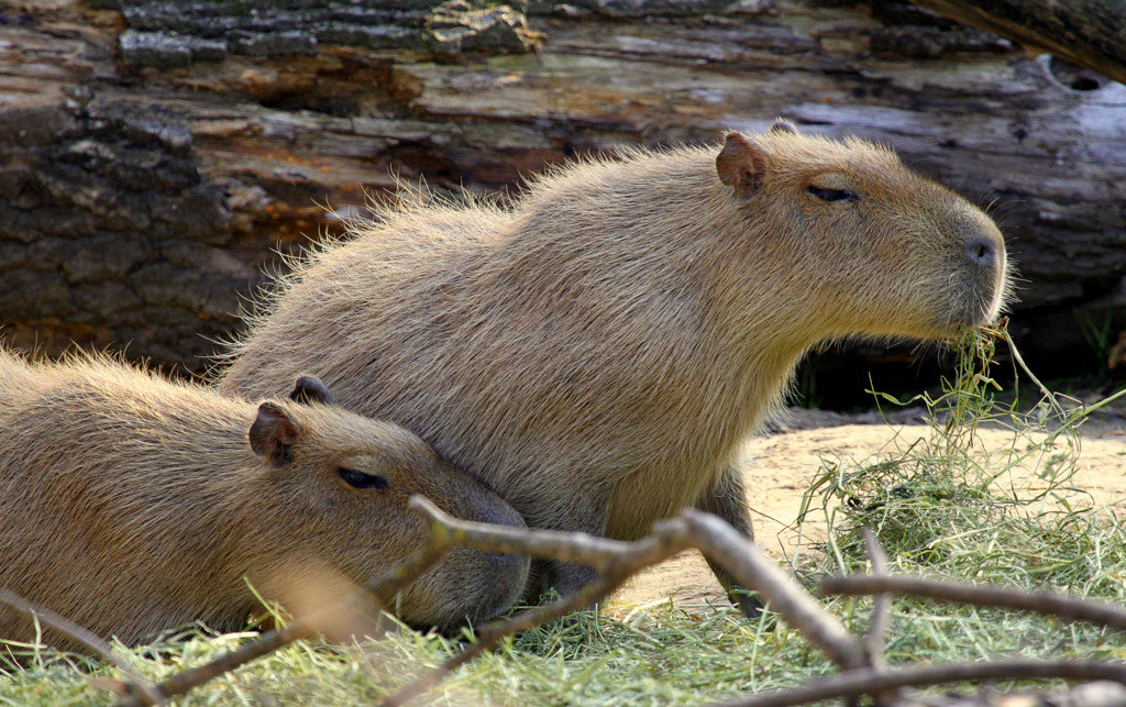 Photograph Capybaras by Rainer Leiss on 500px