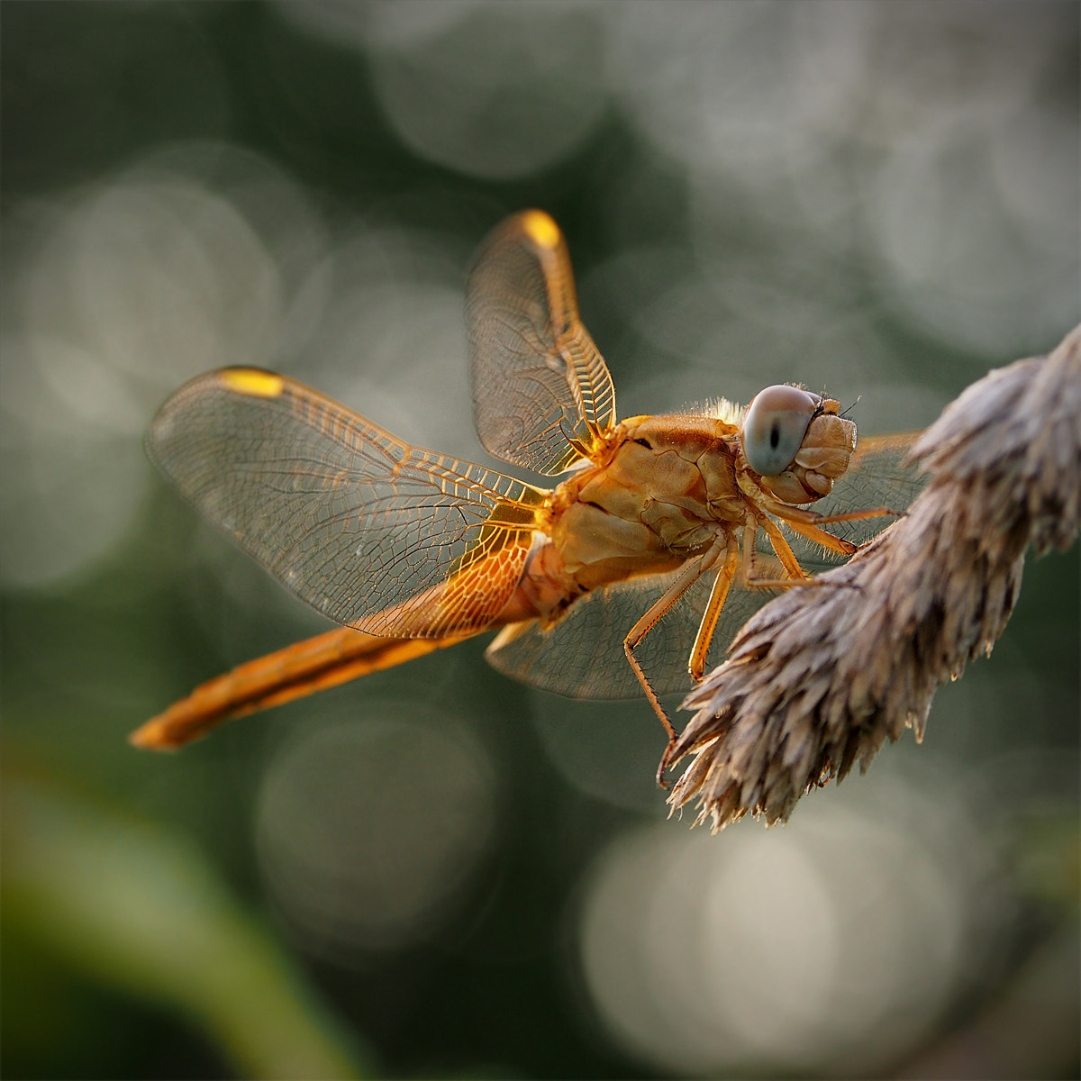 Photograph Dragonflay by ivo pandoli on 500px