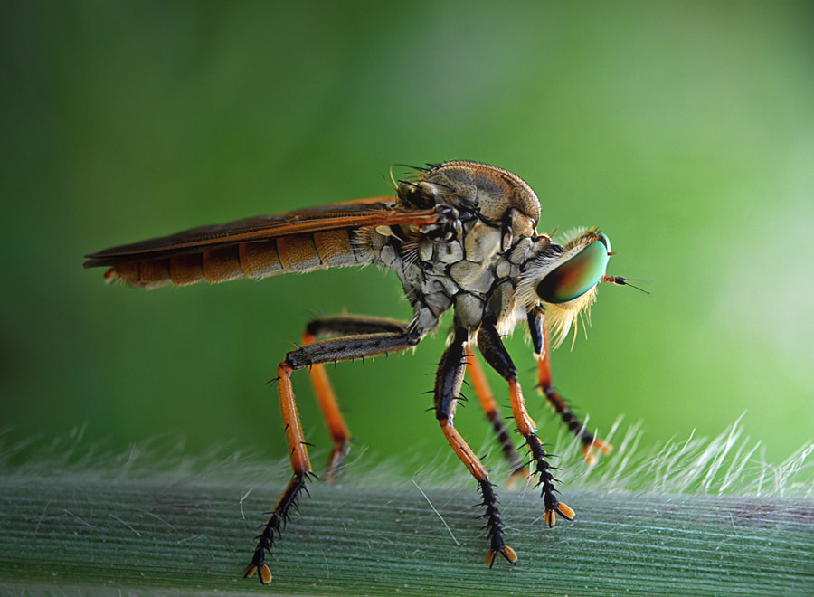 Photograph Mr. Robberfly by Santo Tukang Mancing on 500px