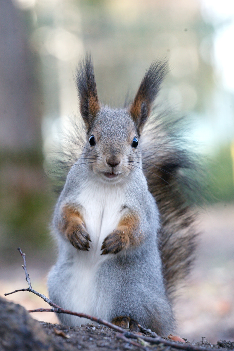 Photograph Surprised Squirrel by Gleb Skrebets on 500px