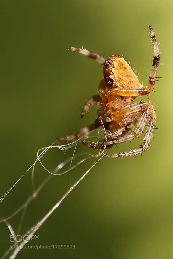 Photograph Spider by danilo Marciante on 500px