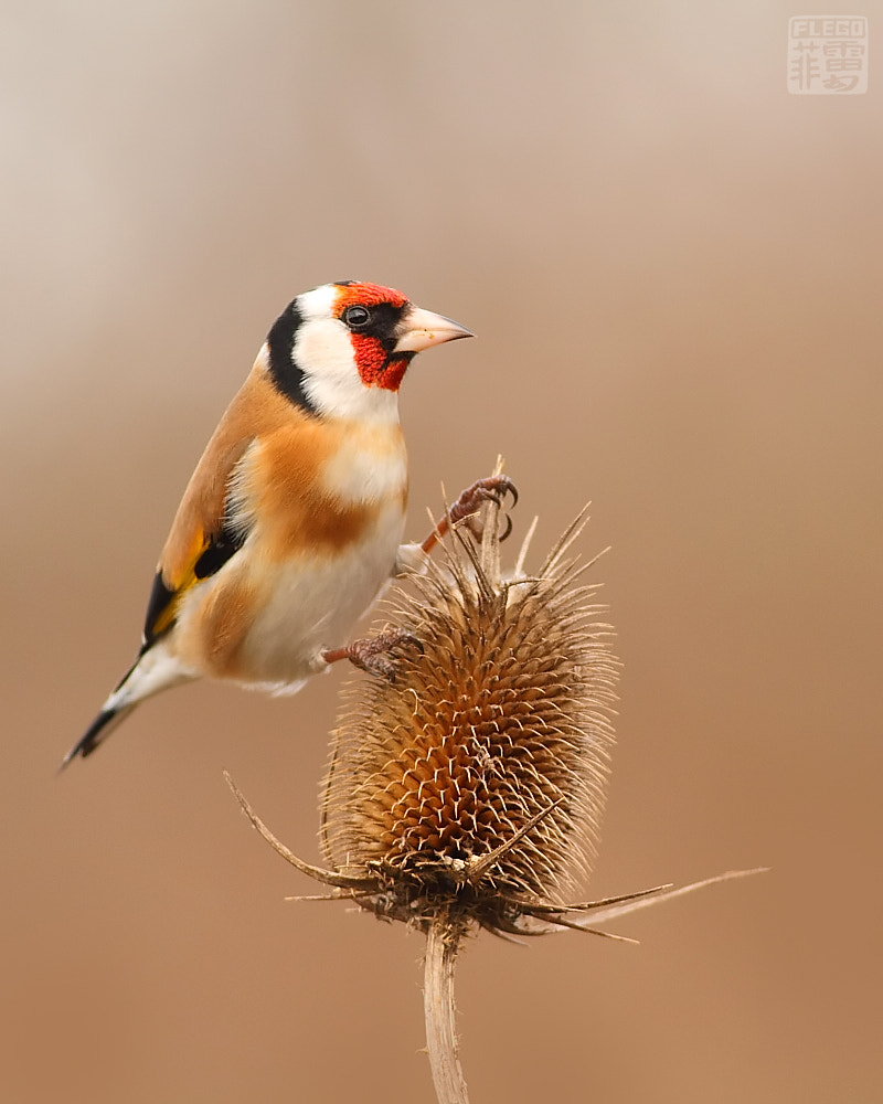 Photograph Goldfinch  by Peter Flego on 500px