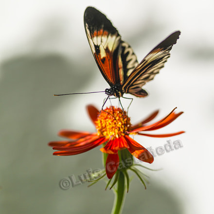Butterfly on Flower Heliconius, Pentax 645D, smc PENTAX-FA 645 Macro 120mm F4