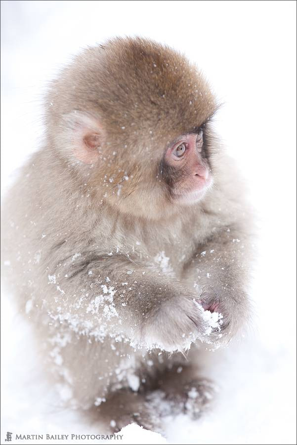 Photograph Young Snow Monkey Study by Martin Bailey on 500px