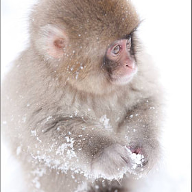 Young Snow Monkey Study by Martin Bailey (martinbailey)) on 500px.com