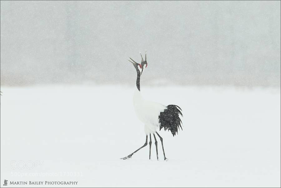 Photograph Four Legged Two Headed Crane by Martin Bailey on 500px