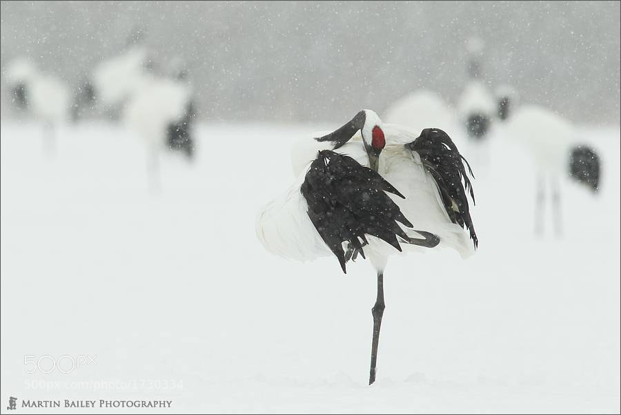 Photograph Preening in Snow by Martin Bailey on 500px