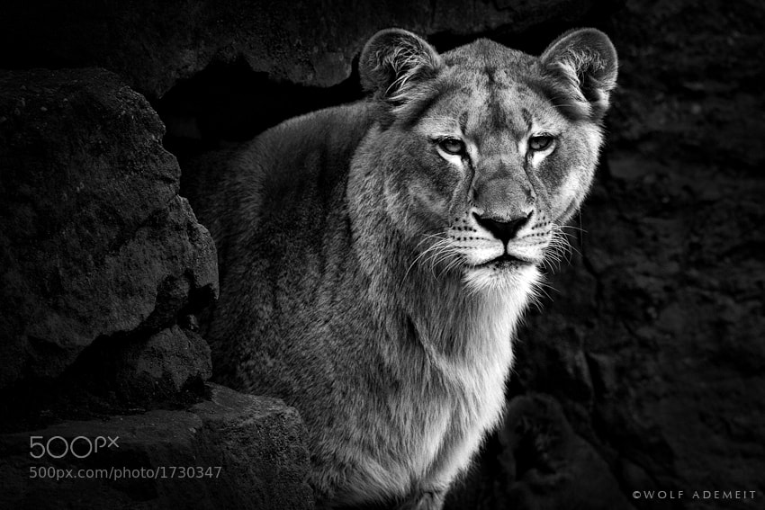 Photograph THE LIONESS by Wolf Ademeit on 500px