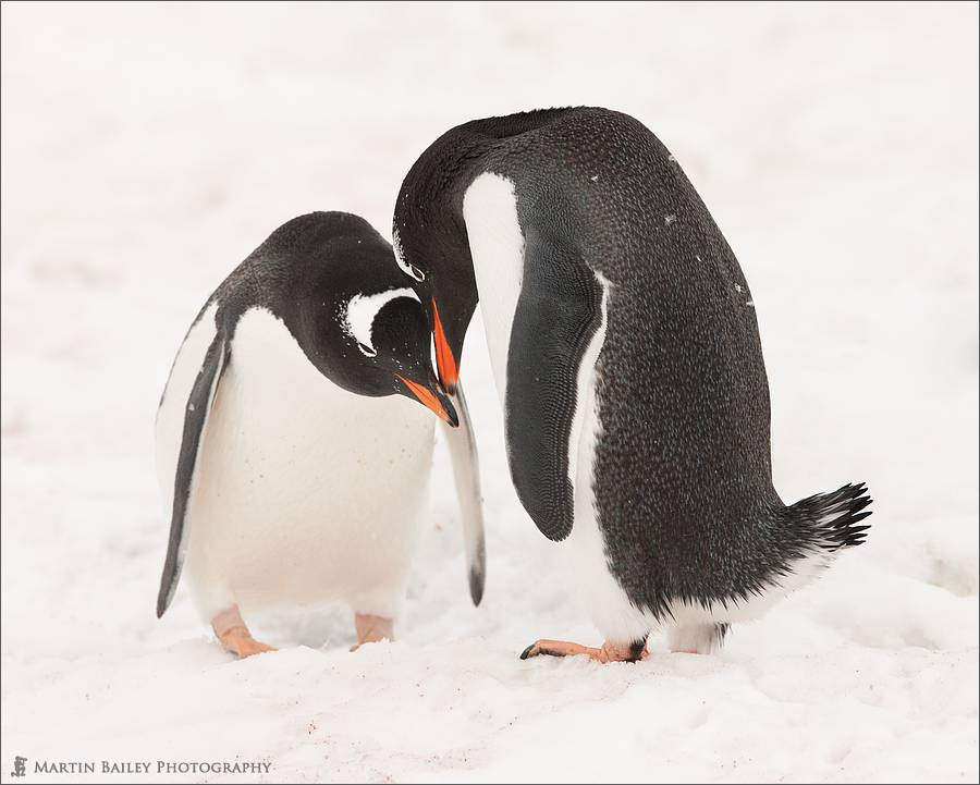 Photograph Gentoo Penguins Courting by Martin Bailey on 500px