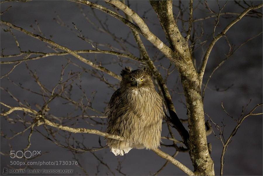 Photograph Blakiston's Fish Owl's Pensive Stare by Martin Bailey on 500px