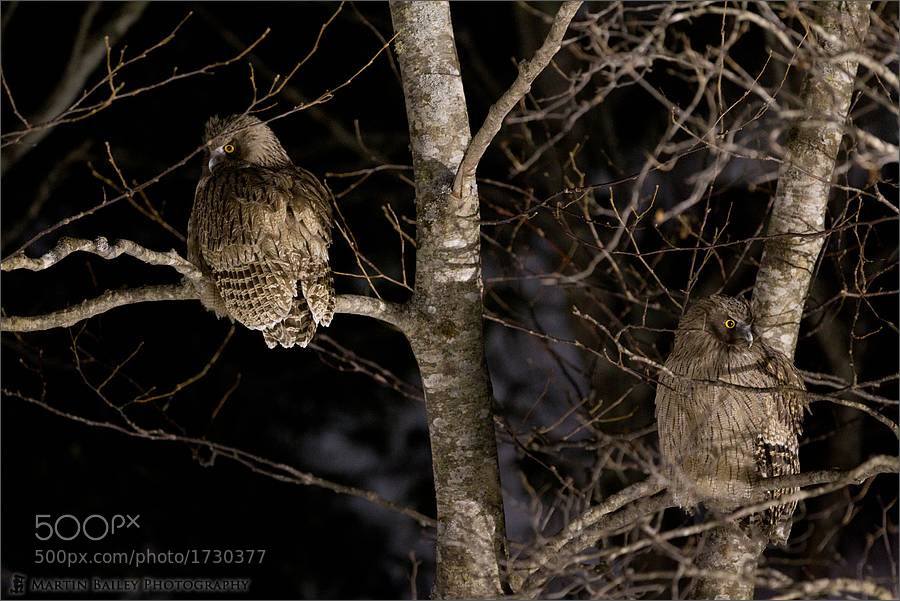 Photograph Two Blakiston's Fish Owls by Martin Bailey on 500px