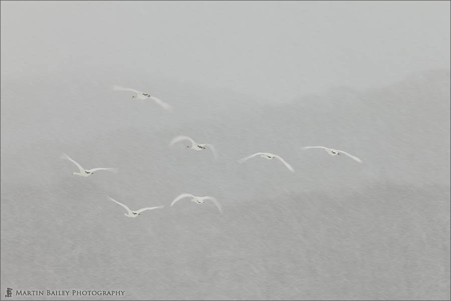 Photograph The Whooper Swans Are Leaving the Building by Martin Bailey on 500px