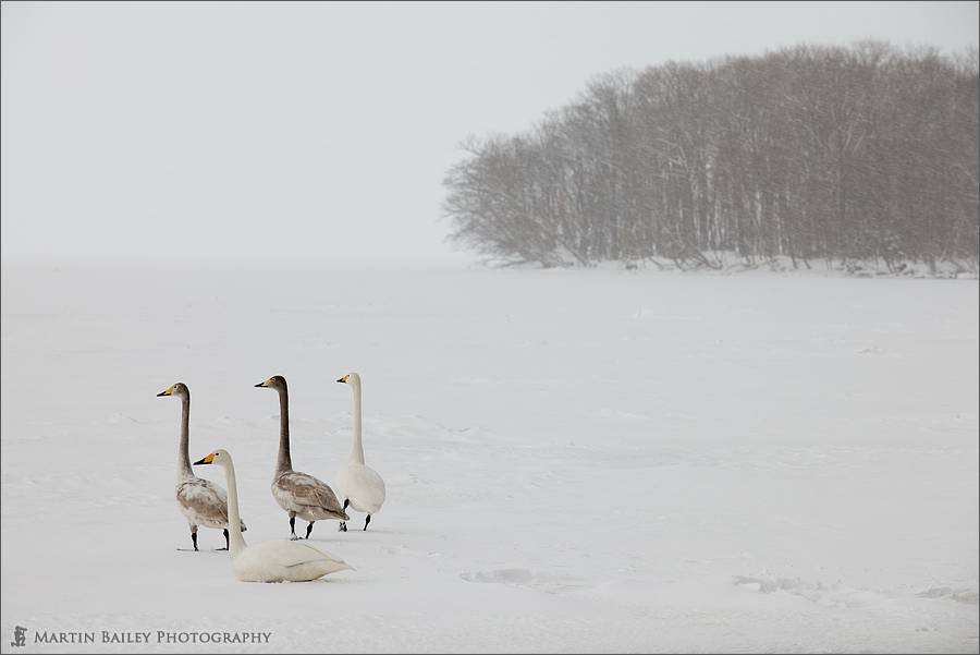 Photograph Swans' Attention by Martin Bailey on 500px