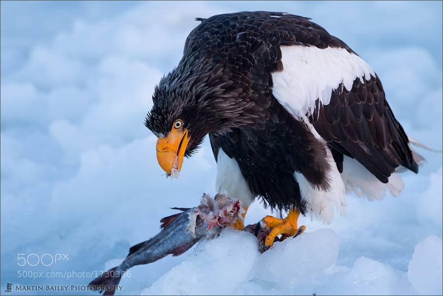 Photograph Steller's Sea Eagle Feeding by Martin Bailey on 500px
