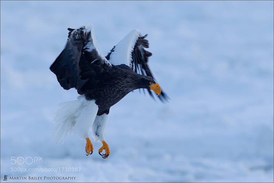 Photograph Steller's Sea Eagle at Dawn by Martin Bailey on 500px