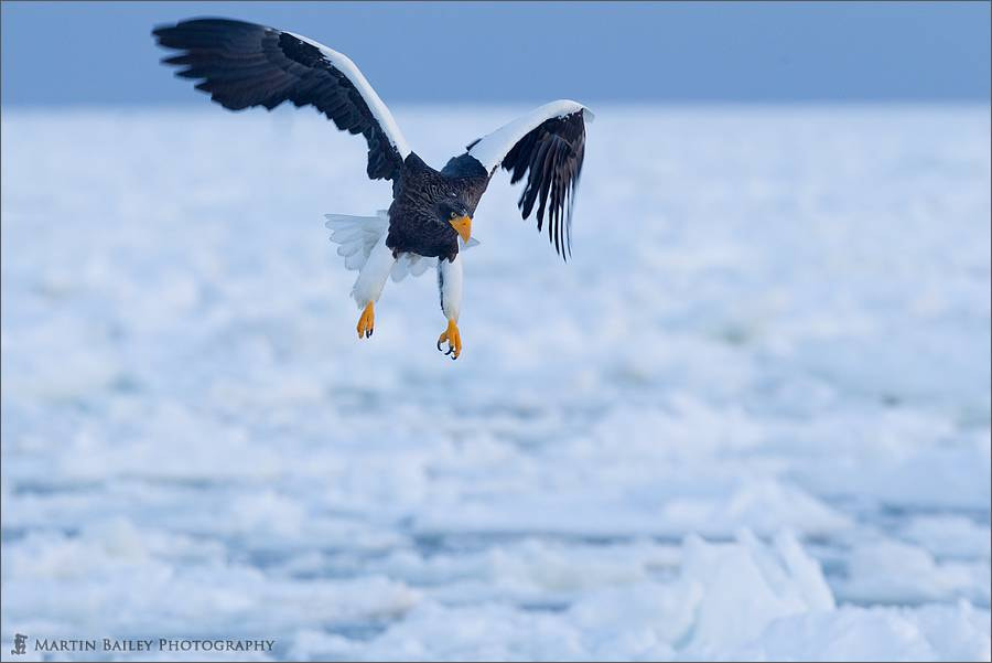 Photograph Steller's Sea Eagle in Flight by Martin Bailey on 500px
