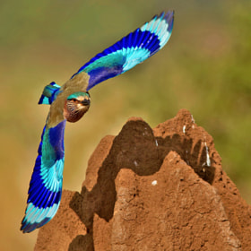 Indian Roller Zooming in by Subramanniyan Mani (Subramanniyan-Mani)) on 500px.com