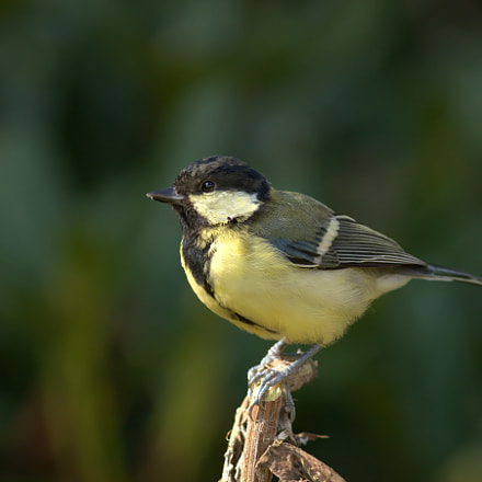 Great tit, Canon EOS 7D MARK II, Canon EF 100-200mm f/4.5A
