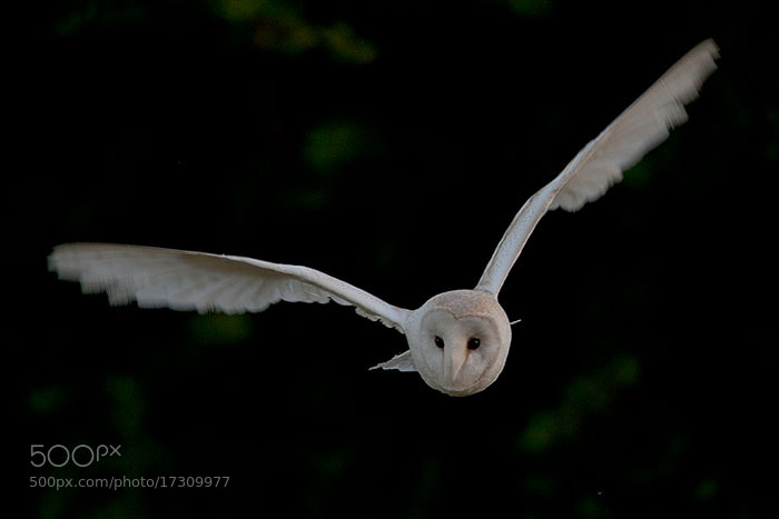 Photograph Barn Owl by Ian Cook on 500px