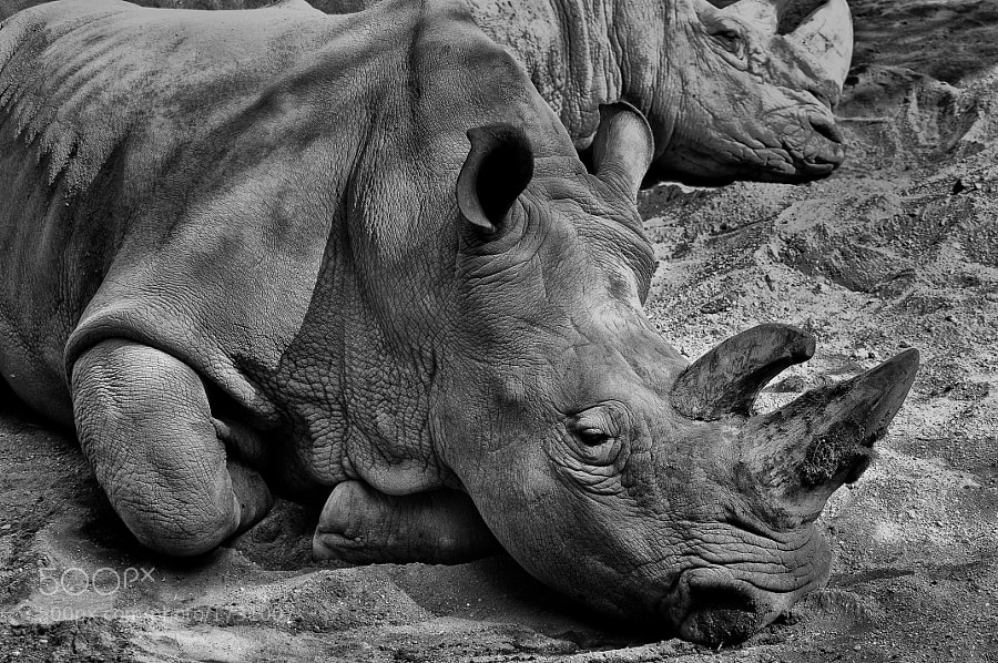 Rhinos resting in black and white